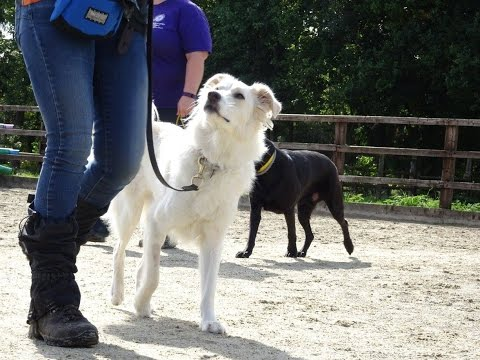 Beluga - Anatolian Shepherd - 4 Week Residential Dog Training at Adolescent Dogs