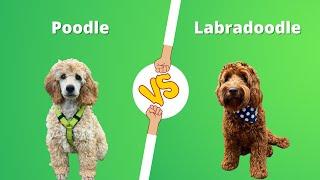 Poodle vs Labradoodle | Labradoodle vs Poodle dog breed