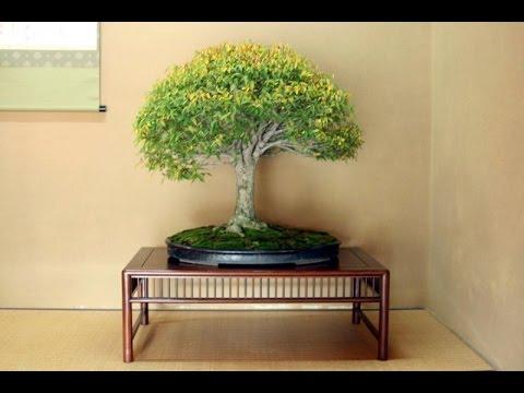 Deciduous Bonsai- Zelkova Bonsai (Japanese Gray Bark Elm)