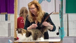 CFA International Show 2019  Norwegian Forest Cat alters