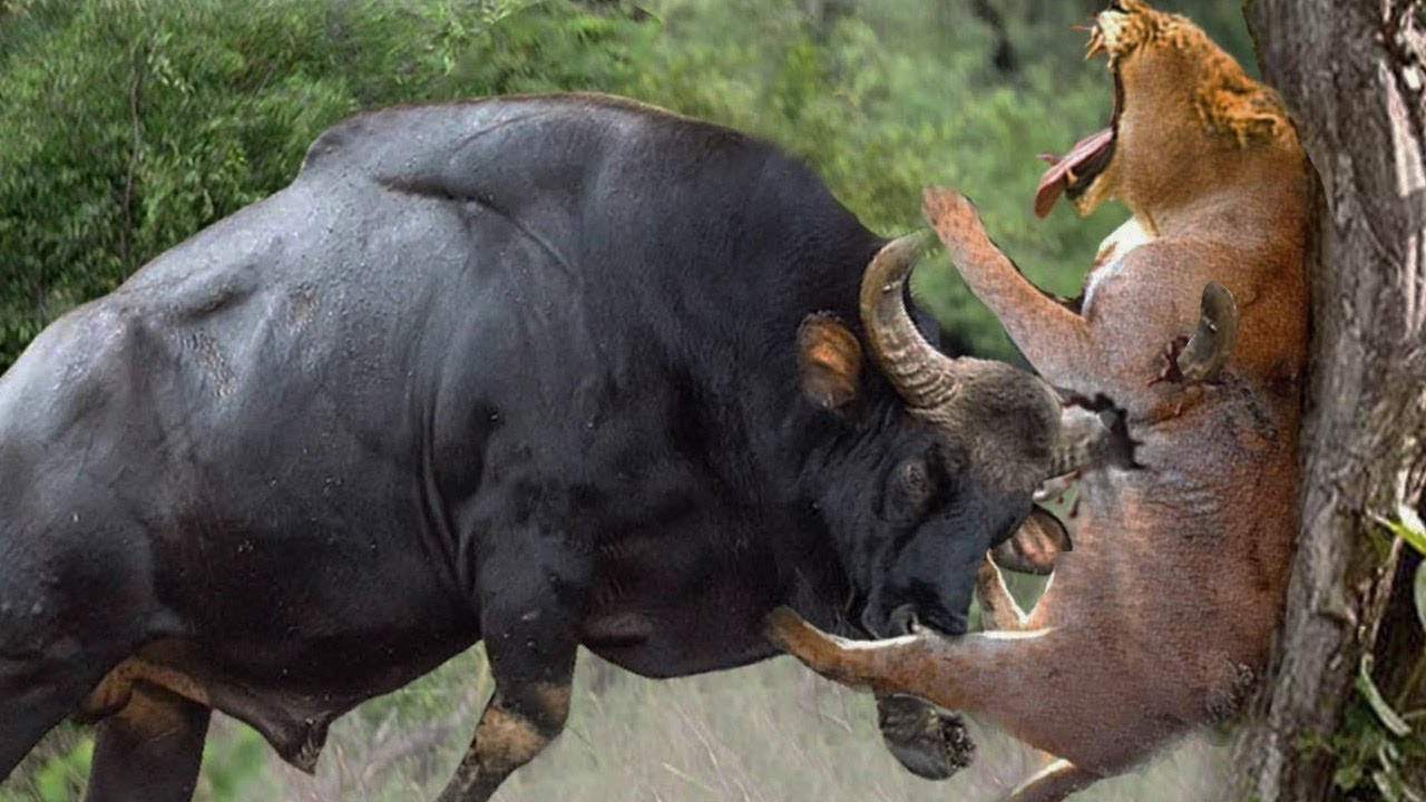 Download JANGAN DI TONTON !!! Kekalahan Singa Paling MENGERIKAN Yang Terekam Kamera.