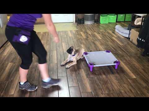 Loki the Bull Mastiff puppy in training