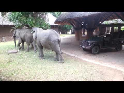 Mfuwe Lodge elephants visit again!