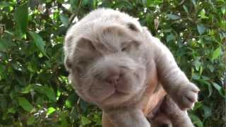 Lilac Female Bear Coat - Sandyshreu Shar Pei - Litter Born 25/10/2012