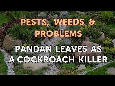 pandan leaves as cockroach repellent
