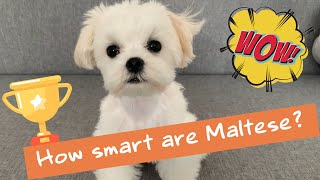 How smart is a 5 months old Maltese puppy?!  Cute dog playing