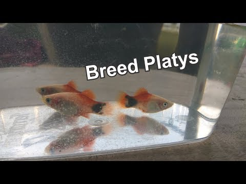 How To Breed Platy