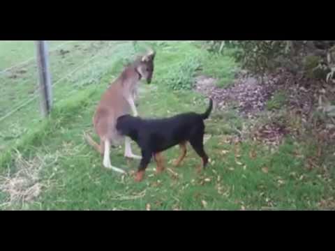Kangaroo und Rottweiler schmusen