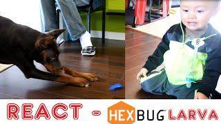 React: Hex Bug! Doberman Pinscher Attacks And Toddler Reacts To Larva Hex Bug| Micro Robotic Funny
