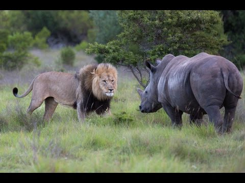 Lion Vs Rhino - Rhino Agry (Brutal Killer) Rhino Attack ... Lion Vs Elephant