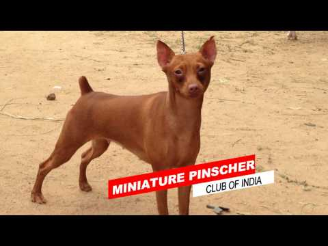 MINIATURE PINSCHER CLUB OF INDIA ALBUM