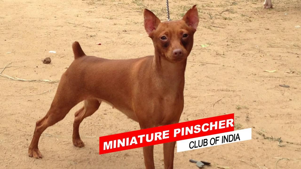 Miniature Pinscher Club Of India Al