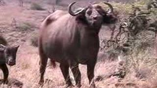 Amazing Lions, Elephants, Rhino at Lewa (Kenya)-Big Cat TV