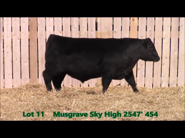 Musgrave Angus Lot 11