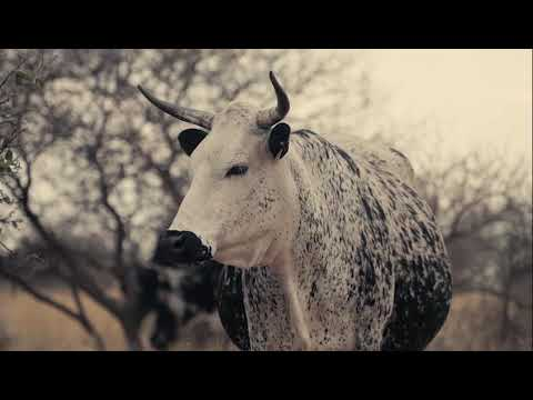 Nguni Cattle Breeders' Society Promotional Video