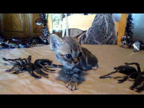 Belladonna taddy minskin kitten female