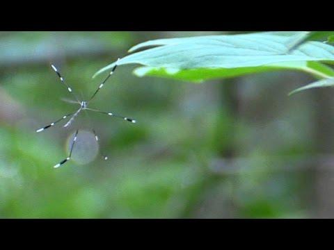 Phantom Crane Fly
