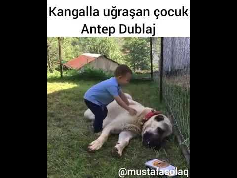 Kangalla Uğraşan Çocuk (ANTEP DUBLAJ)