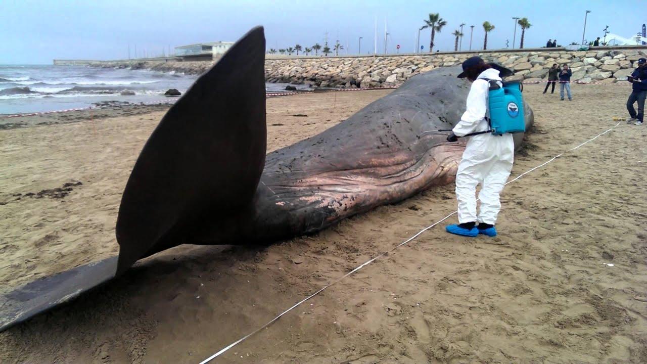 Cachalote varado en la playa de las arenas valencia for Empresas de pladur en valencia