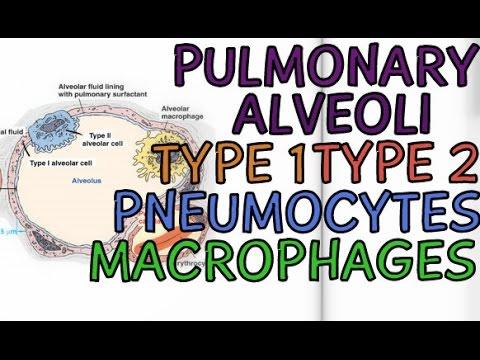 Biology Help: Pulmonary Alveoli - Cells of Alveoli - Type 1 - Type 2 - Pneumocytes - Macrophages