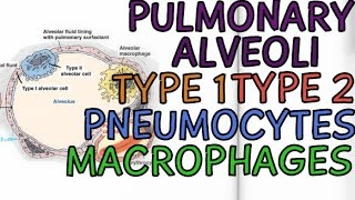 Biology Help: Pulmonary Alveoli - Cells of Alveoli - Type 1 - Type 2 - Pneumocytes - Macrophages