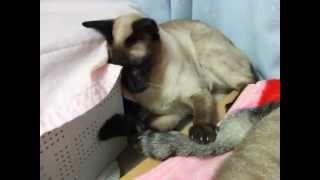 http://ameblo.jp/cat-siamese/ シャム猫えきさいてぃんぐきゃっつ! シ...