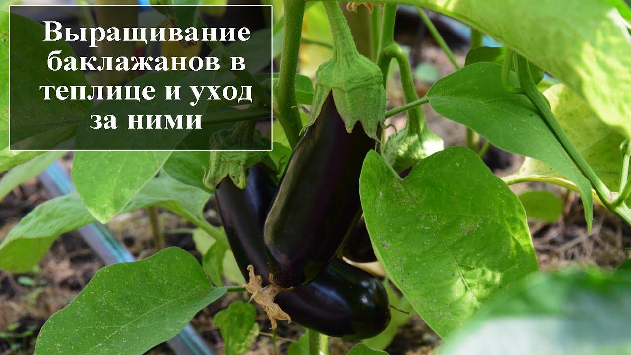 выращивание баклажан в теплице в сибири