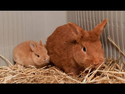 CONEJOS - ¿Cómo juntar un conejito joven con otro adulto? - YouTube