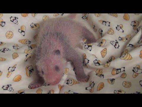 'It's a girl!': Tokyo zoo announces baby panda's sex
