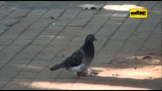 Enfermedades transmitidas por palomas