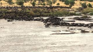 Wildebeest Crossing of the Mara River in the Serengeti National Park, Tanzania