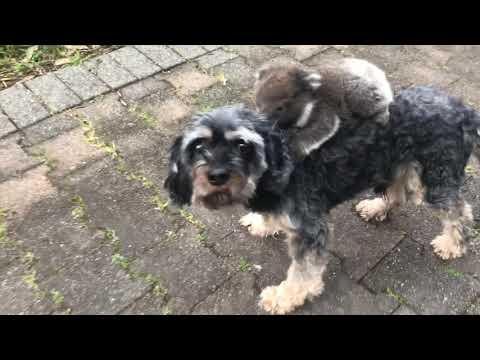 Baby Koala Mistook my Doggy Tony for its Mother