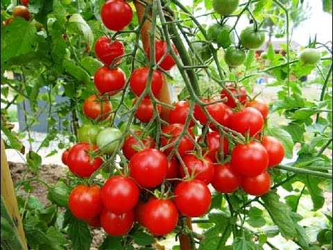 Volution de tomates cerises en pot youtube - Plants de tomates cerises ...