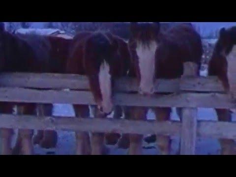 Dennis Gordeyko's Clydesdale Horses