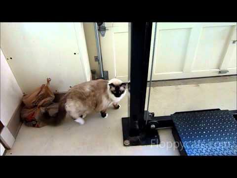 Ragdoll Cat Meowing in the Garage - ねこ - ラグドール -- Floppycats