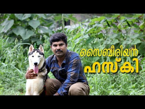 The siberian husky I husky dog I dog farming kerala