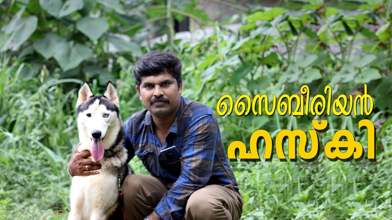 The Siberian Husky I Husky Dog I Dog Farming Kerala Youtube