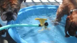 English Bulldog And Cocker Spaniel Playing In The Pool