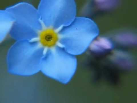 Forget Me Not Flower Youtube