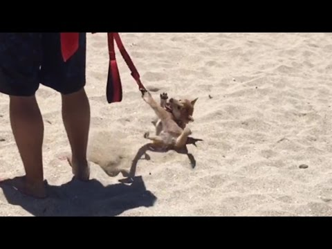 Stubborn puppy throws hilarious temper tantrum at the beach