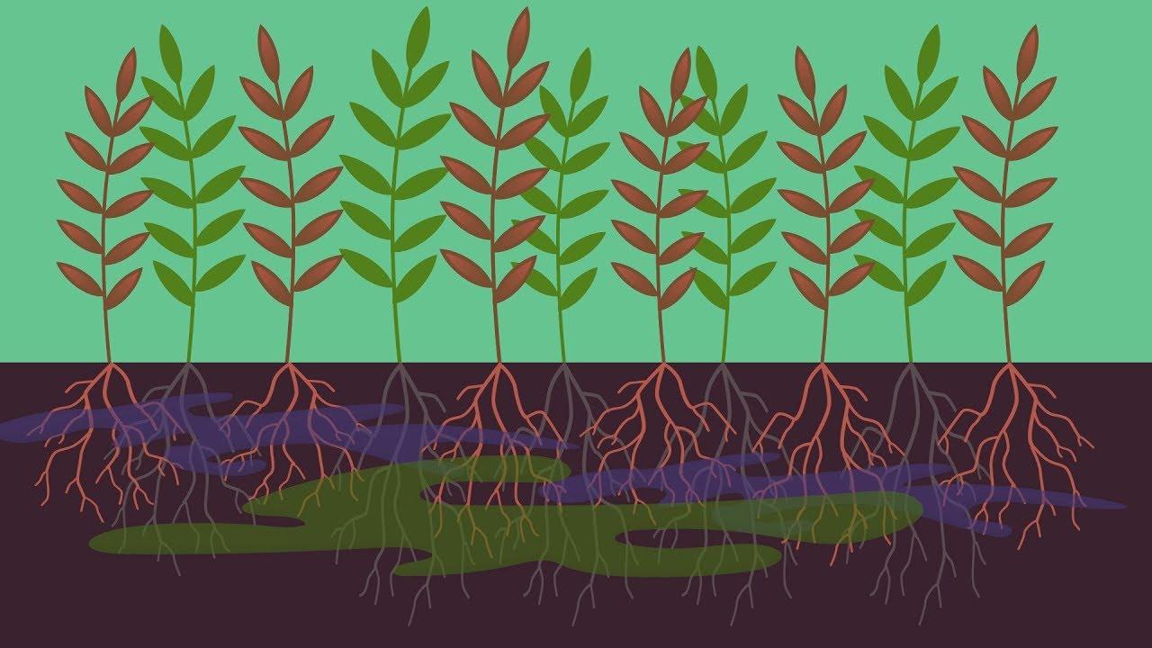 décontamination des sols par les plantes