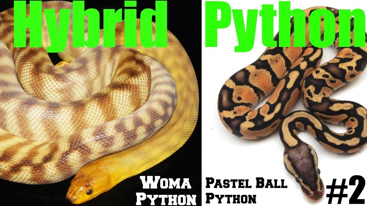 WE HAVE A LOCK! WORLD 1ST HYBRID PYTHON Woma Python X Pastel Ball ...