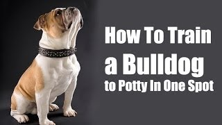 How To Train Bulldog : How To Potty Train French Bulldog Puppy