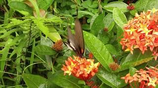 寵物 / 動物 影片 (011) 美麗的蝴蝶吃花蜜  Very Beautiful Butterfly eats / takes flower honey ?
