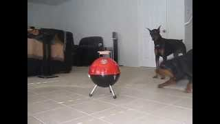 Rottweiler Vs Doberman Vs Bbq Grill, Fight!
