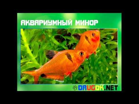 Аквариумные рыбки и растения Рыбки Миноры, фото