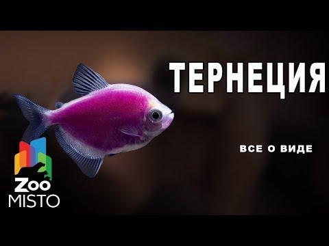 Вопрос: Какие есть виды рыбок Glofich (глофиш)?