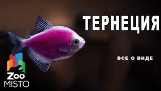 Тернеция - Все о виде рыбы | Вид рыбы - Тернеция