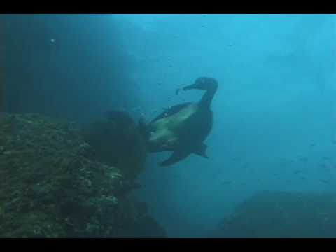 Brandt's Cormorant diving for fish