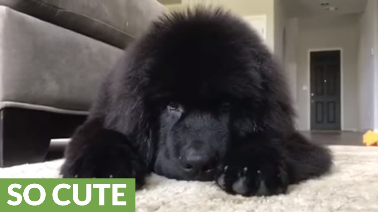 Gigantic Fluffy Newfoundland Puppy Attacks Owner Youtube